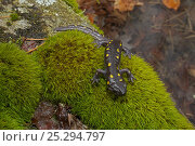 Купить «Spotted Salamander (Ambystoma maculatum) on moss near ponds where they breed in spring. New York, USA, April.», фото № 25294797, снято 26 мая 2019 г. (c) Nature Picture Library / Фотобанк Лори