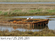 Купить «Black-headed gulls (Chroicocephalus ridibundus) on old pontoon in saltmarsh, Wallasea Island RSPB reserve, Essex, UK, March», фото № 25295281, снято 24 апреля 2018 г. (c) Nature Picture Library / Фотобанк Лори