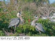Купить «Two Great Blue Herons (Ardea herodias) at the nest. Venice Rookery, Florida, USA, January.», фото № 25295489, снято 23 марта 2019 г. (c) Nature Picture Library / Фотобанк Лори