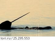 Купить «Narwhal (Monodon monoceros) showing tusk above water surface. Baffin Island, Nunavut, Canada, June.», фото № 25295553, снято 26 апреля 2019 г. (c) Nature Picture Library / Фотобанк Лори