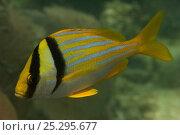 Купить «Porkfish (Anisotremus virginicus) Coral Reef Island, Belize Barrier Reef, Belize», фото № 25295677, снято 25 марта 2019 г. (c) Nature Picture Library / Фотобанк Лори