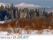 Купить «Silver Firs (Abies alba) with Kopa Bukowska Peak in the background. Bieszczady, Carpathian Mountains, Poland, January 2010.», фото № 25295877, снято 14 августа 2018 г. (c) Nature Picture Library / Фотобанк Лори