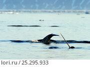 Купить «Narwhal (Monodon monoceros) showing tusk and tail above water surface. Baffin Island, Nunavut, Canada, June.», фото № 25295933, снято 26 апреля 2019 г. (c) Nature Picture Library / Фотобанк Лори