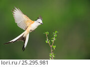 Купить «Scissor-tailed Flycatcher (Tyrannus forficatus), adult female in flight. Laredo, Webb County, South Texas, USA, April.», фото № 25295981, снято 27 мая 2018 г. (c) Nature Picture Library / Фотобанк Лори