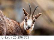 Portrait of Chamois (Rupicapra rupicapra). Gran Paradiso National Park, Alps, Italy, April. Стоковое фото, фотограф Inaki Relanzon / Nature Picture Library / Фотобанк Лори