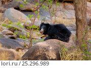 Купить «Sloth Bear (Melursus ursinus) female crouching on a rock. Karnataka, India, March.», фото № 25296989, снято 25 мая 2019 г. (c) Nature Picture Library / Фотобанк Лори