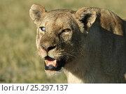 Купить «African lion (Panthera leo) lioness, portrait, Okavango Delta, Botswana, July», фото № 25297137, снято 22 января 2019 г. (c) Nature Picture Library / Фотобанк Лори