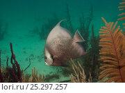Купить «Gray angelfish (Pomacanthus arcuatus) Coral Reef Island, Belize Barrier Reef, Belize», фото № 25297257, снято 25 марта 2019 г. (c) Nature Picture Library / Фотобанк Лори