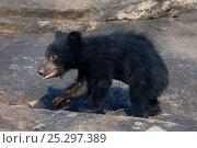 Купить «Sloth Bear (Melursus ursinus) cub in profile. Karnataka, India, April.», фото № 25297389, снято 25 мая 2019 г. (c) Nature Picture Library / Фотобанк Лори