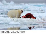 Купить «Polar Bear (Ursus maritimus) feeding on a Narwhal (Monodon monoceros) on icepack as a gull waits to scavenge the carcass. Floe edge, Arctic Bay, Baffin Island, Nunavut, Canada, June.», фото № 25297469, снято 18 апреля 2019 г. (c) Nature Picture Library / Фотобанк Лори