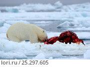 Купить «Polar Bear (Ursus maritimus) feeding on a Narwhal (Monodon monoceros) on icepack. Floe edge, Arctic Bay, Baffin Island, Nunavut, Canada, June.», фото № 25297605, снято 18 апреля 2019 г. (c) Nature Picture Library / Фотобанк Лори