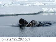 Купить «A female Narwhal (Monodon monoceros) surfacing with her yearling calf. Baffin Island, Nunavut, Canada, June.», фото № 25297669, снято 22 марта 2019 г. (c) Nature Picture Library / Фотобанк Лори