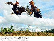 Купить «Cocks fighting in cock fight, Guimaras island, Philippines, February 2007», фото № 25297721, снято 25 апреля 2019 г. (c) Nature Picture Library / Фотобанк Лори