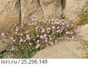 Купить «Rose of Heaven (Silene coeli-rosa) clump flowering among granite boulders. Campomoro Point, near Propriano, Corsica, France, June.», фото № 25298149, снято 25 марта 2019 г. (c) Nature Picture Library / Фотобанк Лори