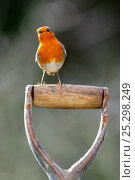 Купить «Robin (Erithacus rubecula) perched on garden spade handle. Dorset, UK, February.», фото № 25298249, снято 25 марта 2019 г. (c) Nature Picture Library / Фотобанк Лори