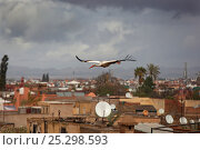 Купить «White Stork (Ciconia ciconia) in flight over city buildings. Marakesh, Morocco, March.», фото № 25298593, снято 26 марта 2019 г. (c) Nature Picture Library / Фотобанк Лори