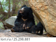 Купить «Sloth Bear (Melursus ursinus) mother sitting with cub beside a rock. Karnataka, India, April.», фото № 25298881, снято 21 марта 2018 г. (c) Nature Picture Library / Фотобанк Лори