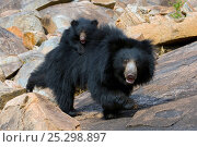 Sloth Bear (Melursus ursinus) mother with cub riding on her back. Karnataka, India, April. Стоковое фото, фотограф Axel Gomille / Nature Picture Library / Фотобанк Лори