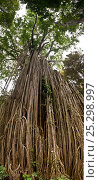 Купить «Tendrils and roots of The Curtain fig tree (Ficus virens) in  Atherton tablelands, Queensland, Australia, composite panoramic image», фото № 25298997, снято 23 мая 2018 г. (c) Nature Picture Library / Фотобанк Лори