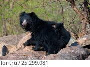 Купить «Sloth Bear (Melursus ursinus) mother with cub riding on her back. Karnataka, India, April.», фото № 25299081, снято 21 марта 2018 г. (c) Nature Picture Library / Фотобанк Лори