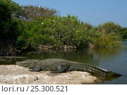 Купить «Marsh Crocodile / Mugger (Crocodylus palustris) basking by a river with birds roosting in the background. Cauvery river, Karnataka, India.», фото № 25300521, снято 2 июля 2020 г. (c) Nature Picture Library / Фотобанк Лори