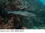 Купить «White-tipped reef shark (Triaenodon obesus) territorial behaviour, off Wolf Island,  Galapagos Islands, November», фото № 25300621, снято 4 августа 2020 г. (c) Nature Picture Library / Фотобанк Лори