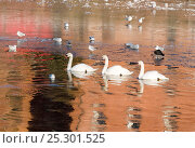 Купить «Mute Swans (Cygnus olor) swimming in icy waters with Black-headed Gulls (Larus ridibundus) and Coots (Fulica atra). The River Severn, Worcester, England, December 2010.», фото № 25301525, снято 20 июля 2018 г. (c) Nature Picture Library / Фотобанк Лори