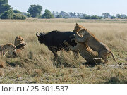 Купить «African lion (Panthera leo) pack of lioness bringing down a Buffalo (Syncerus caffer), Okavango Delta, Botswana, July 2007», фото № 25301537, снято 27 февраля 2020 г. (c) Nature Picture Library / Фотобанк Лори