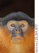 Купить «Portrait of a Western Red Colobus Monkey (Procolobus badius). Gambia, West Africa, January.», фото № 25301877, снято 20 августа 2019 г. (c) Nature Picture Library / Фотобанк Лори