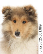 Купить «Portrait of a Rough Collie puppy, 14 weeks.», фото № 25301889, снято 19 июля 2018 г. (c) Nature Picture Library / Фотобанк Лори
