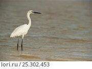 Купить «White morph of a Reddish Egret (Egretta rufescens) standing in shallow water. Sian Ka'an Biosphere Reserve, Yucatan Peninsula, Mexico.», фото № 25302453, снято 26 марта 2019 г. (c) Nature Picture Library / Фотобанк Лори