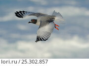 Купить «Swallow Tailed Gull (Creagrus furcatus) in flight. Punta Suarez, Espaniola, Galapagos, Ecuador, April.», фото № 25302857, снято 20 января 2019 г. (c) Nature Picture Library / Фотобанк Лори