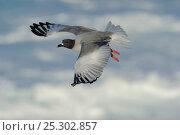 Купить «Swallow Tailed Gull (Creagrus furcatus) in flight. Punta Suarez, Espaniola, Galapagos, Ecuador, April.», фото № 25302857, снято 18 июня 2019 г. (c) Nature Picture Library / Фотобанк Лори