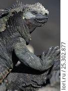 Купить «Marine Iguana (Amblyrhynchus cristatus) basking on volcanic rock. Fernandina Island, Punta Espinosa, Galapagos, Ecuador, April.», фото № 25302877, снято 23 марта 2019 г. (c) Nature Picture Library / Фотобанк Лори