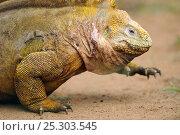 Купить «Galapagos Land Iguana (Conolophus subcristatus) in profile. Baltra, Galapagos, Ecuador, April.», фото № 25303545, снято 16 февраля 2019 г. (c) Nature Picture Library / Фотобанк Лори