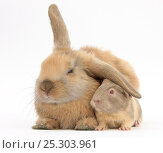 Купить «Young windmill-eared rabbit and matching guinea-pig.», фото № 25303961, снято 20 марта 2019 г. (c) Nature Picture Library / Фотобанк Лори