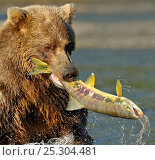 Купить «Grizzly Bear (Ursus arctos horribilis) thrashing a large caught salmon. Katmai, Alaska, USA, August.», фото № 25304481, снято 19 сентября 2018 г. (c) Nature Picture Library / Фотобанк Лори
