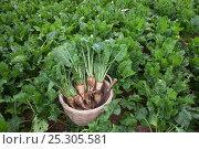 Купить «Sugar beet (Beta vulagaris) crop, Norfolk, UK, August», фото № 25305581, снято 23 февраля 2018 г. (c) Nature Picture Library / Фотобанк Лори