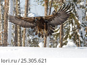 Купить «Golden eagle (Aquila chrysaetos) about to land on snow, Oulanka NP, Finland, February», фото № 25305621, снято 26 марта 2019 г. (c) Nature Picture Library / Фотобанк Лори