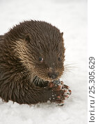 Купить «European river otter (Lutra lutra) feeding on fish in snow, Finland, January», фото № 25305629, снято 20 августа 2019 г. (c) Nature Picture Library / Фотобанк Лори