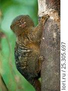 Купить «Pygmy Marmoset (Cebuella pygmaea) clinging to tree trunk. Napo River bordering Yasuni National Park, Amazon Rain Forest, Ecuador.», фото № 25305697, снято 27 марта 2019 г. (c) Nature Picture Library / Фотобанк Лори