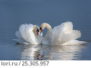 Купить «Two male Mute swans (Cygnus olor) displaying on water in territorial dispute, UK», фото № 25305957, снято 26 марта 2019 г. (c) Nature Picture Library / Фотобанк Лори