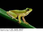 Купить «Green Tree Frog (Hyla cinerea) on vegetation in profile against a black background. Controlled conditions. Aransas National Wildlife Refuge, Texas, USA.», фото № 25305997, снято 18 июля 2019 г. (c) Nature Picture Library / Фотобанк Лори