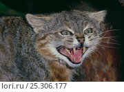 Купить «Pampas cat (Felis colocolo) male showing aggressive behaviour, Captive, occurs Ecuador to Patagonia, South America.», фото № 25306177, снято 21 октября 2018 г. (c) Nature Picture Library / Фотобанк Лори