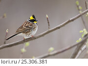 Купить «Yellow-throated Bunting (Emberiza elegans),  Zhouzhi Nature Reserve, Qinling mountains, Shaanxi, China, April», фото № 25306381, снято 16 декабря 2018 г. (c) Nature Picture Library / Фотобанк Лори