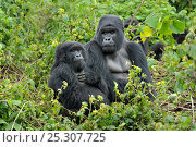 Купить «Mountain Gorillas (Gorilla beringei) in habitat. Rwanda, Africa, March», фото № 25307725, снято 20 мая 2019 г. (c) Nature Picture Library / Фотобанк Лори