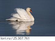 Купить «Mute swan (Cygnus olor) displaying on water, UK», фото № 25307761, снято 20 сентября 2018 г. (c) Nature Picture Library / Фотобанк Лори
