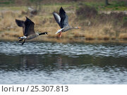 Canada Goose (Branta canadensis) chasing a Greylag Goose (Anser anser) in flight. The Netherlands, July. Стоковое фото, фотограф Edwin Giesbers / Nature Picture Library / Фотобанк Лори