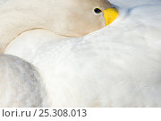 Купить «Whooper Swan (Cygnus cygnus) with its beak tucked under its wing. The Netherlands, June.», фото № 25308013, снято 20 мая 2019 г. (c) Nature Picture Library / Фотобанк Лори