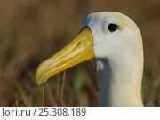 Купить «Portrait of Waved / Galapagos Albatross (Diomedea / Phoebastria irrorata). Punta Suarez, Espaniola, Galapagos, Ecuador, April.», фото № 25308189, снято 18 июня 2019 г. (c) Nature Picture Library / Фотобанк Лори